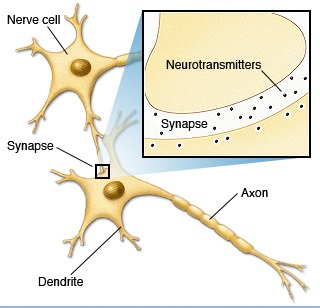 bn00033-neurotransmitters