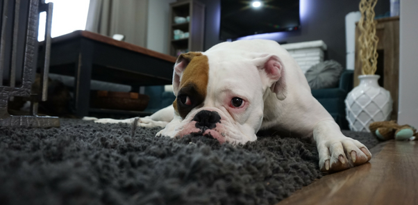 dog-pet-stain-rug