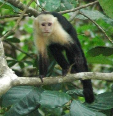 White face monkey costa rica playa ventanas