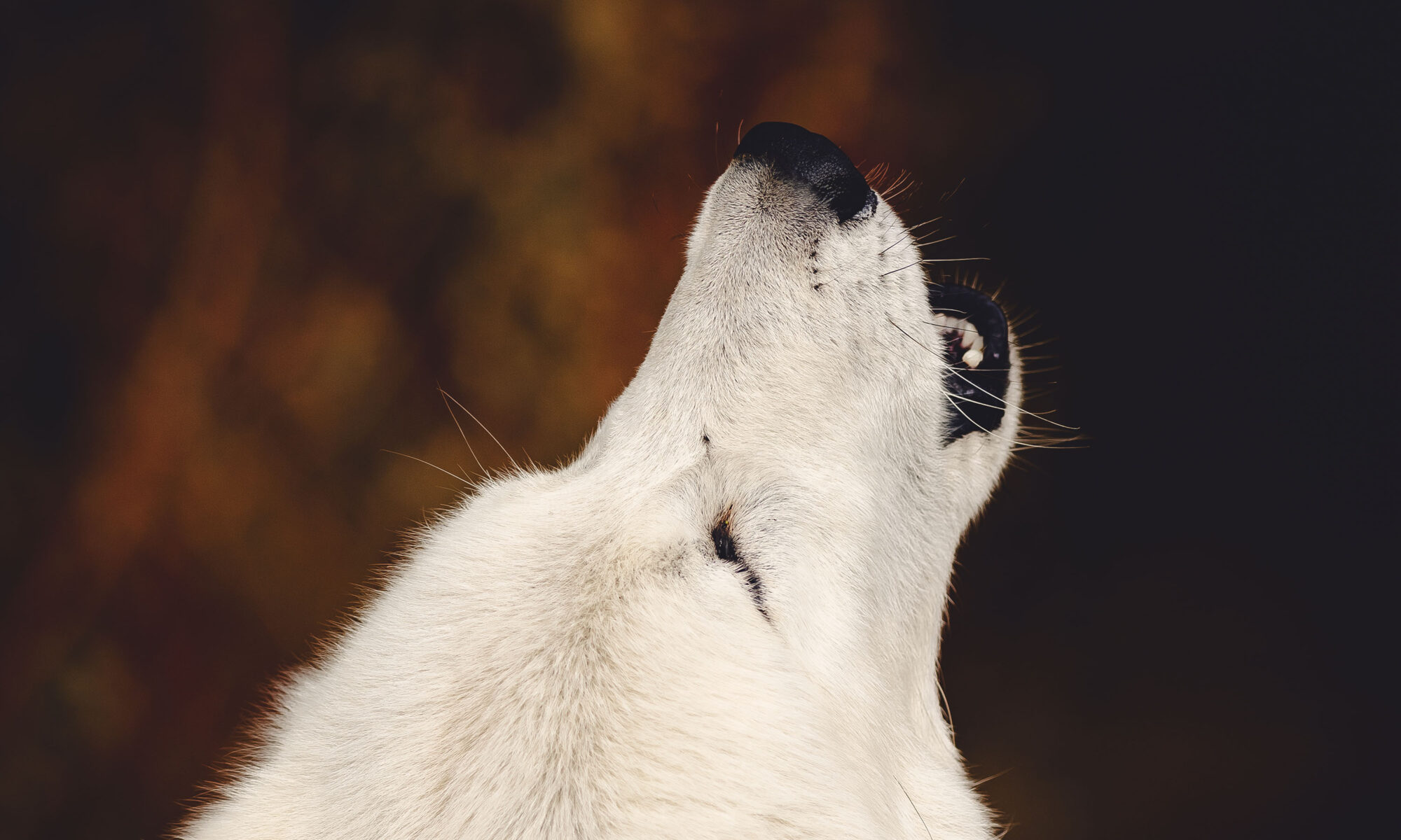 White wolf howling with head back, Brookville, Indiana.