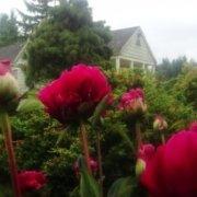 Peonies blooming in the North Garden