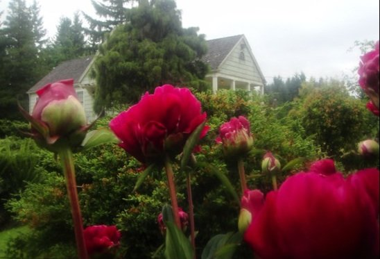 Peonies blooming in the North Garden