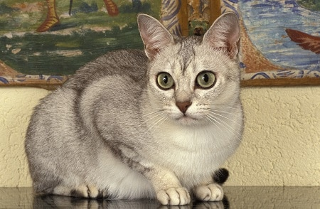 Burmilla cat breed