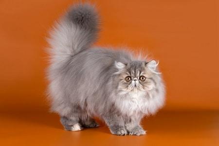 Persian Cat breed