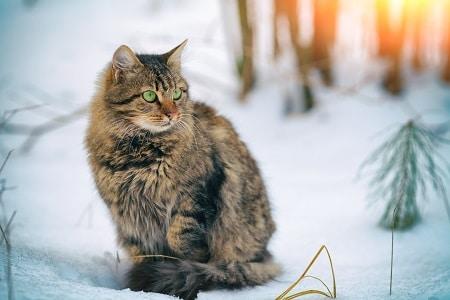 Siberian cat breed in snow