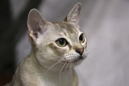 Singapura cat breed