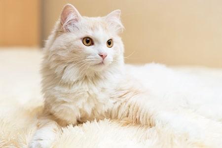 turkish angora cat breed