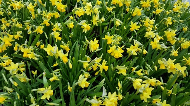 daffodils toxic to cats