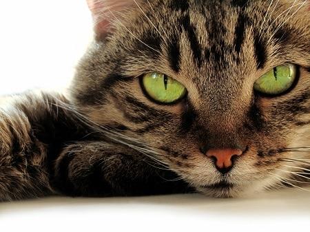tabby cat legends