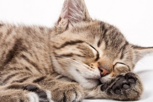 Tabby Cat - Facts and Legends about the Tabby Cat