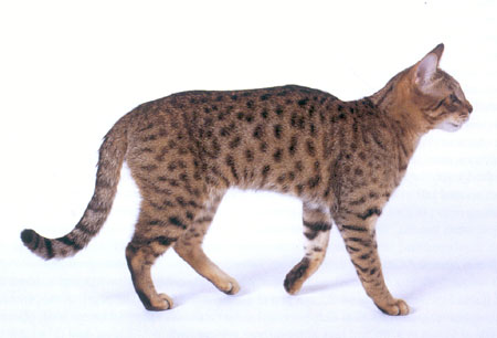California Spangled Cat