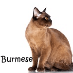 Burmese Cat breed More