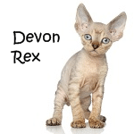 Devon Rex Read More