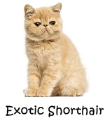 Exotic Shorthair Cat breeds