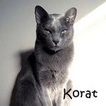 Korat Cat breeds