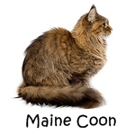 Maine Coon Read More