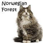 Norwegian Forest Breed