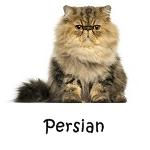Persian cat breeds