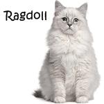 Ragdoll Cat Read More