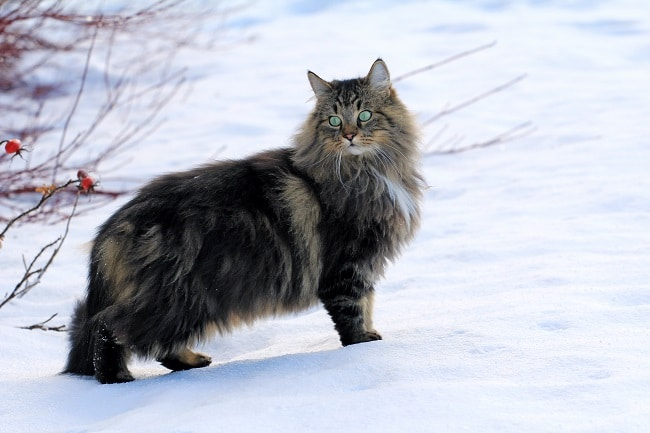 Norwegian forest cat in snow