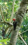 Costa rica woodpecker