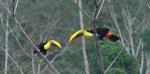 Two costa rica toucans kissing