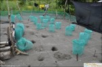 turtle nests ojochal tortuga