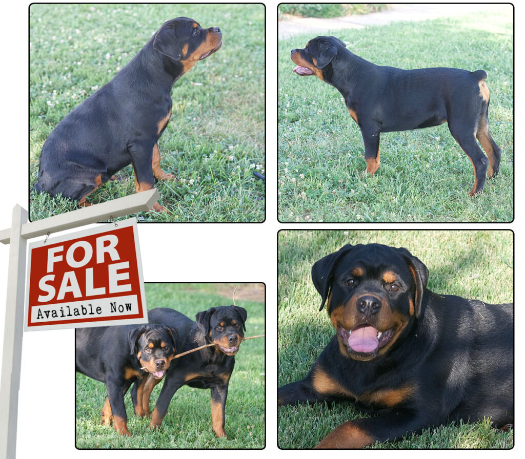 Washburn Farms – Rottweiler, Breeder, Puppies – Rottweiler