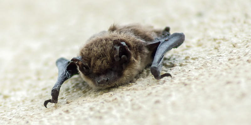 baby bat laying on a piece of carpet
