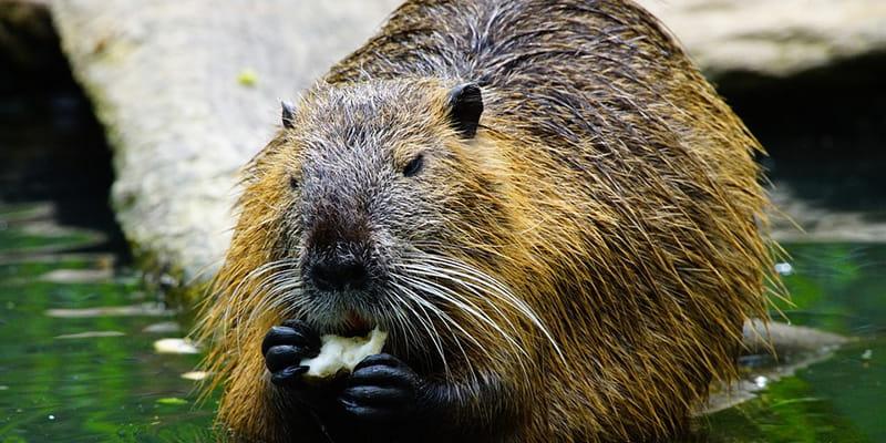beaver eating while wading through water