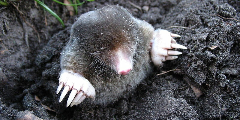 mole poking its head out of a tunnel entrance