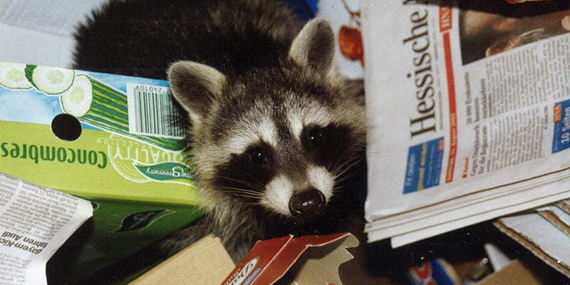 baby raccoon playing in a pile of garbage