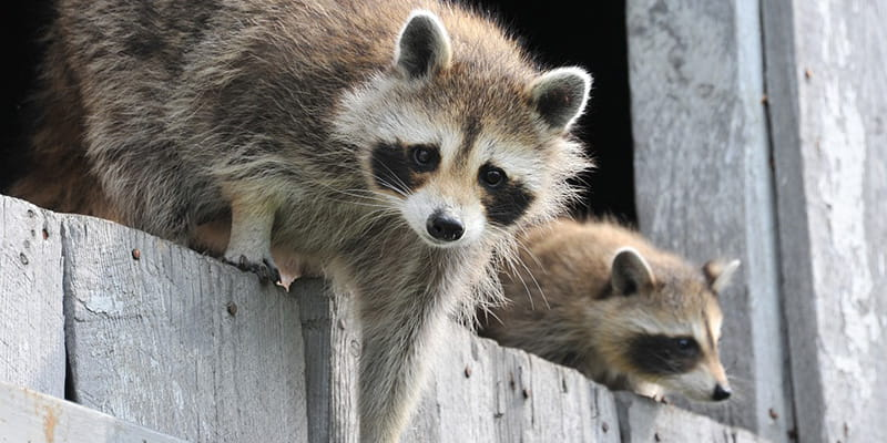 How To Tell If You Have A Raccoon Problem In Your Attic