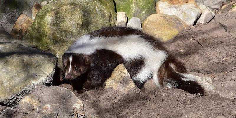 skunk walking across dirt onto rocks