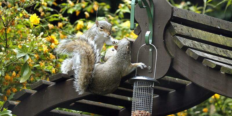 two squirrels try to eat out of a hanging birdfeeder