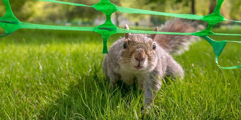 squirrel walking beneath a green vinyl fence