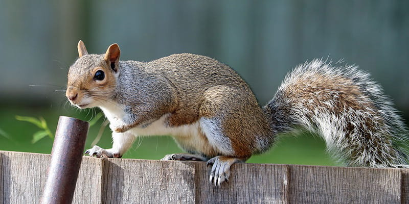 squirrel jumping a fence with a pole leaning against it
