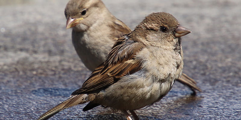 sparrows hanging out in a bird bath