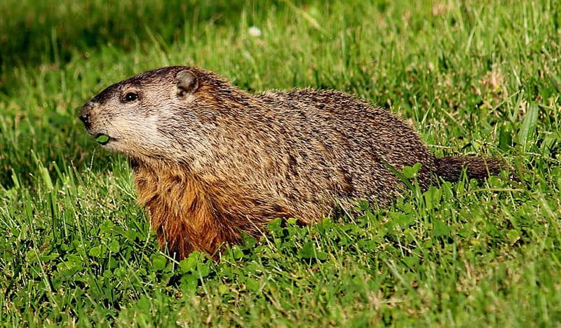 groundhog walking across a field of grass
