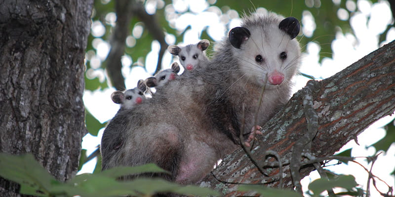 opossum in a tree with babies on it's back