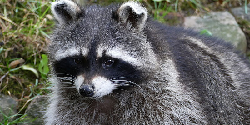 raccoon wandering through yards with ears up