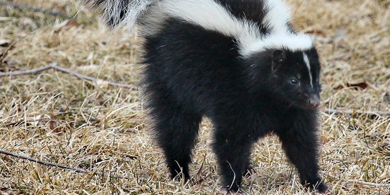 skunk scared with tail straight up