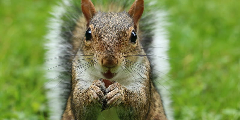 squirrel staring into camera munching on an acorn