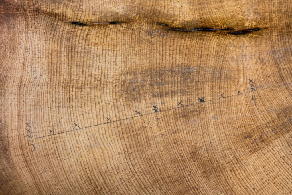 A close-up of bristle cone tree rings with Xs marking 10-year spans. Information from tree rings give scientists data on precipitation and other climate information for each year of growth. PHOTO BY TED WOOD