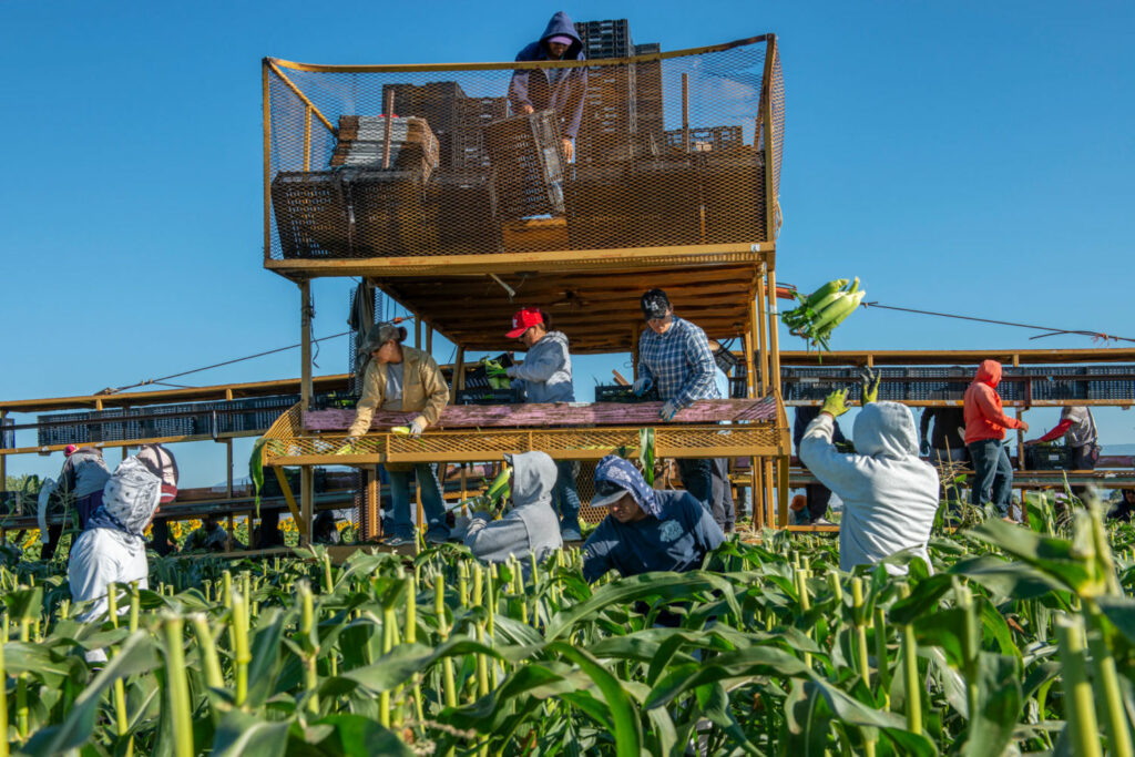 Farmworkers pick sweet corn in Colorado's Gunnison Valley. The Gunnison is a major tributary of the Colorado, which it joins at Grand Junction. TED WOOD