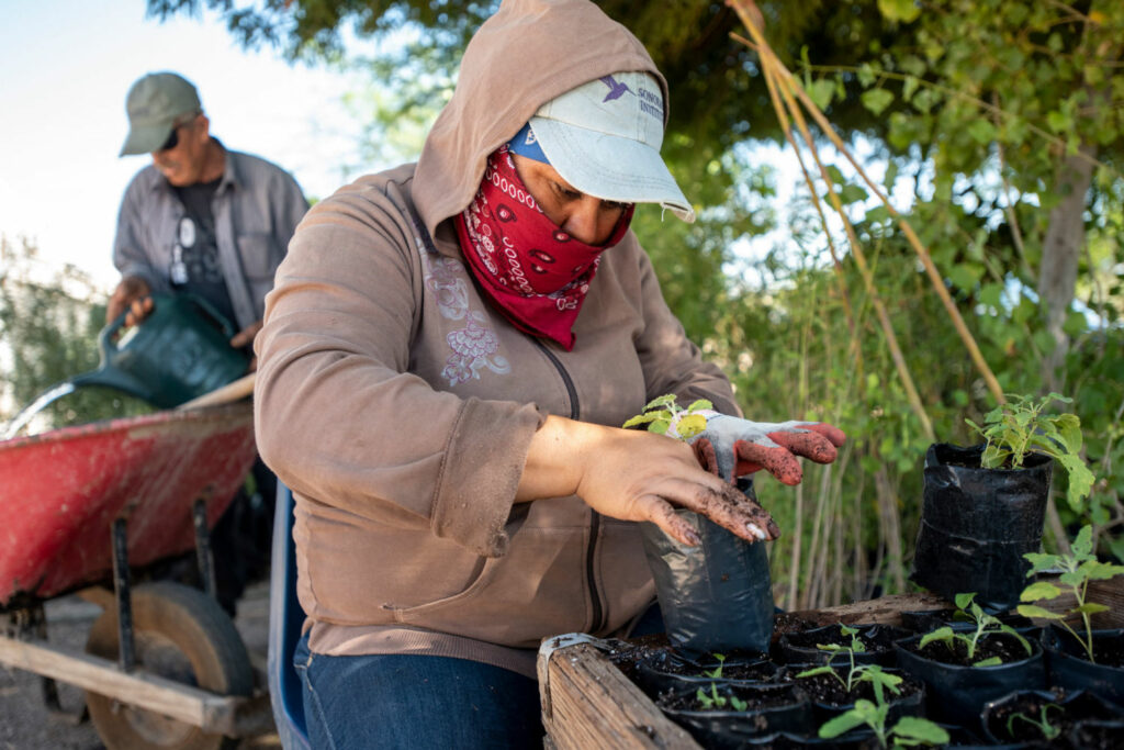 A volunteer repots a seedling at the Sonoran Institute's nursery in Baja California. The seedlings, indigenous to the Colorado River delta, will be replanted at Laguna Grande to help restore the delta's natural forests and marshes. PHOTO BY TED WOOD