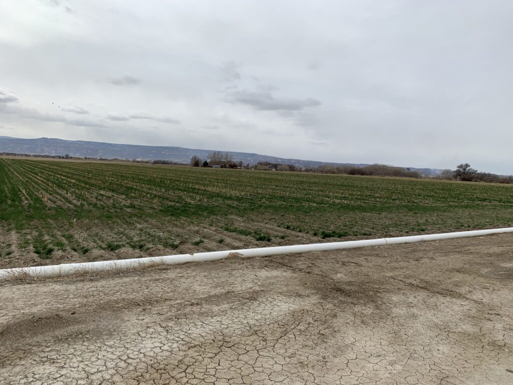 This cornfield in Fruita is an example of agricultural land that could be temporarily fallowed and farmers paid under a demand management program. State workgroups are working toward narrowing the scope of a demand management feasibility investigation.
