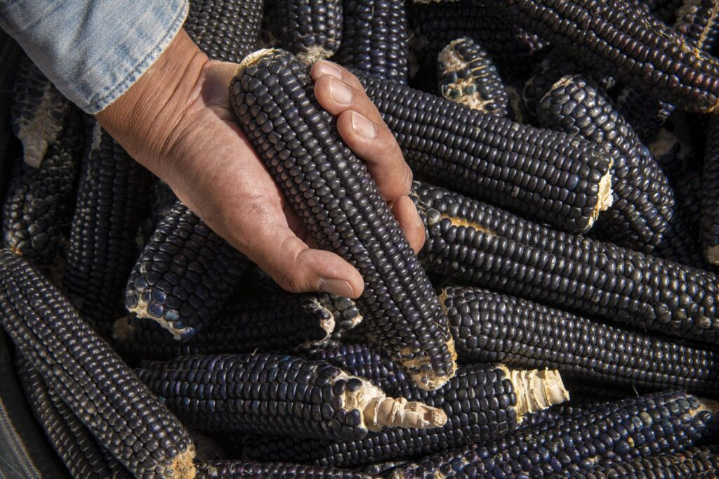 Jim Enote with heirloom blue corn from his farm.