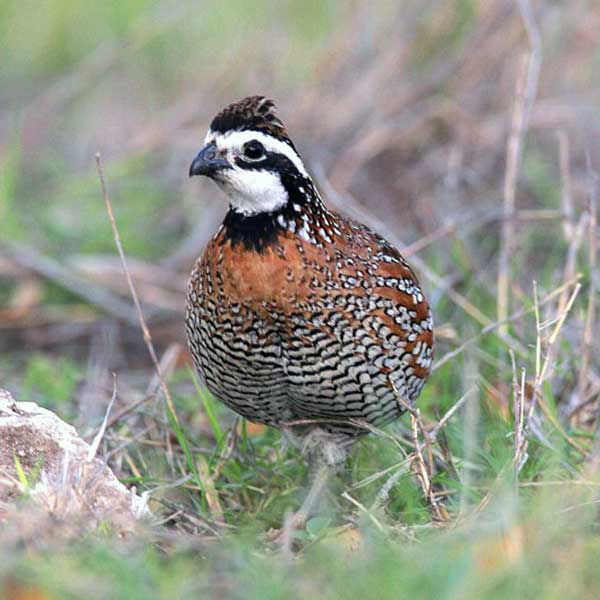 Quail and other birds. Wildlife is one of the greatest sources of enjoyment for a landowner.
