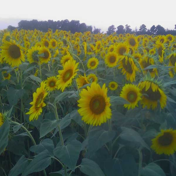 Sunflower field. Wildlife is one of the greatest sources of enjoyment for a landowner.